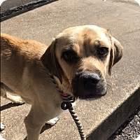 pugs for adoption in dallas tx dallas tx pug beagle mix meet italy a for adoption