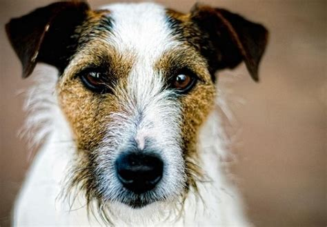 distemper symptoms in puppies varf 246 r skakar min hund och vad ska jag g 246 ra