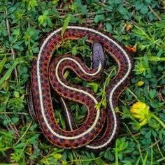 Garter Snake Urine Garden Snakes Can Be Dangerous He He Snakes Also