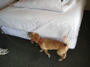 bed bug sheddings bed bug k 9 detection what to look for bed bug treatment gatlinburg pigeon forge