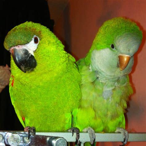 mini macaw and quaker parrot quaker parrots pinterest