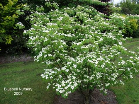 Cornus Kousa Chinensis Teutonia 6649 by Bluebell Nursery Bluebell Nursery Trees Shrubs
