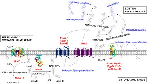 peptidoglycan biosynthesis  bacteria highlighting