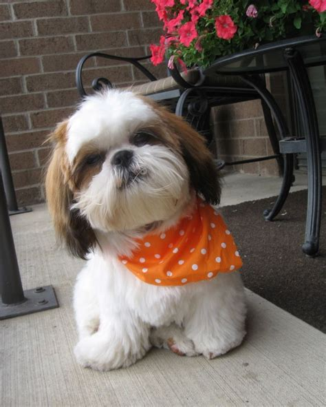 will shipoo puppy have curly hair 133 best shih poo s shih tzu s and teddy bear dogs