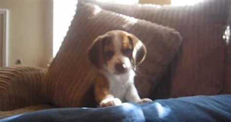 puppy learning to howl beagle puppy learns how to howl and it s for words