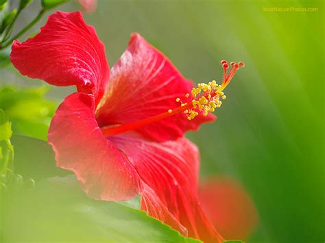 flower wallpaper flowers wallpapers hibiscus flowers wallpapers