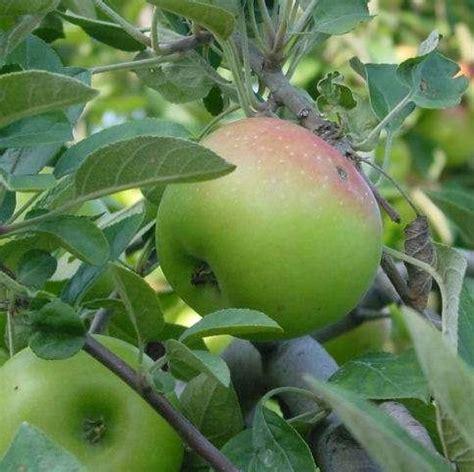 ramuan tanaman obat tradisional apel tanaman obat