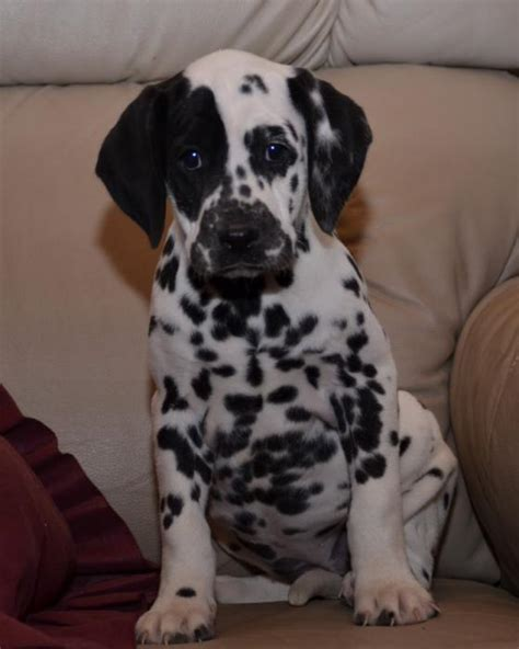 dalmatian puppies for sale in ky friendly dalmatian pupps craigspets