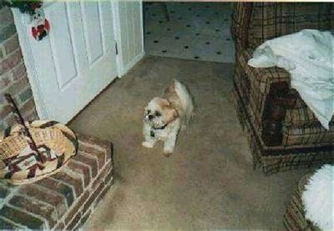 shih tzu epileptic seizures epileptic dogs rambo s story 3