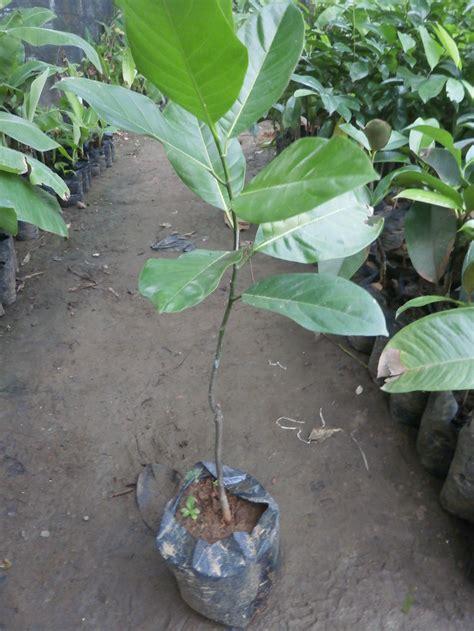 Bibit Nangkadak jual bibit buah nangkadak unggul ecer tanaman nangkadak