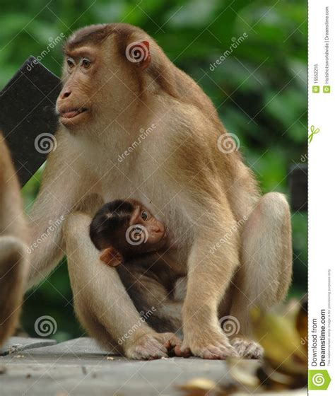 baby monkey feeding time macaque monkey with baby feeding borneo asia royalty free