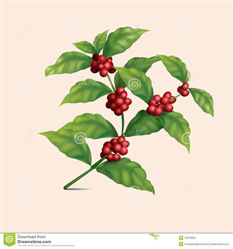 coffee plant wallpaper coffee tree branch with berries stock photo image 47918927