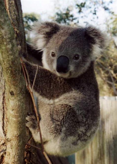 imagenes de tiernos koalas  descargar