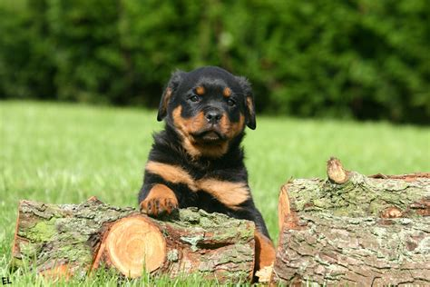 rottweiler wallpaper rottweiler wallpapers pictures images