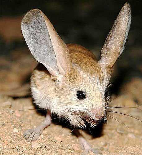 Eared Jerboa Endangered by Jerboas Legged Hopping Desert Rodents Pikachu