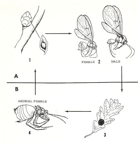 wasp cycle diagram bug eric wasp wednesday gall wasps