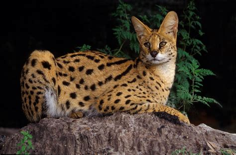 African Golden Cat Characteristics and Pictures