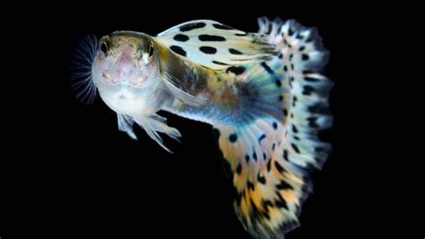 Pakan Ikan Gapi Hias pemijahan ikan guppy poecilia reticulata 171 info dunia