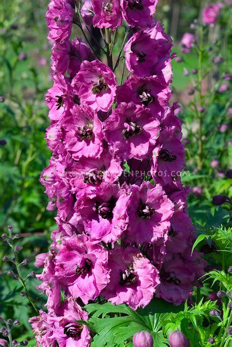 delphinium pink punch perennial in flower in summer