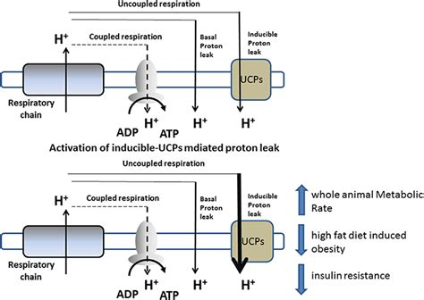 Proton Leak by Frontiers Mitochondrial Uncoupling Proteins And Energy