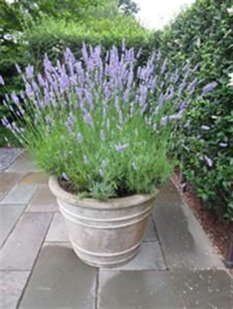 1000 images about lavender on pinterest french lavender lavender fields and container gardening