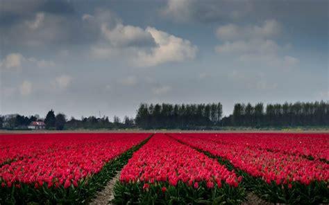 ci di fiori olanda scarica sfondi co di tulipani tulipani rosa olanda