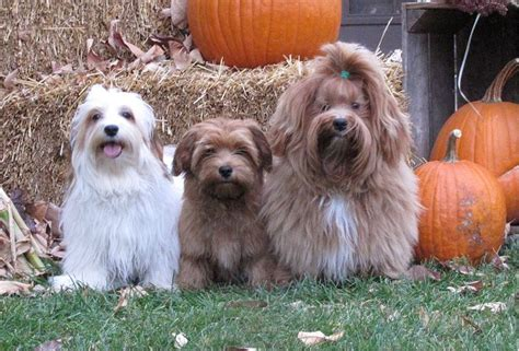 havanese show click on the links to go to each s page