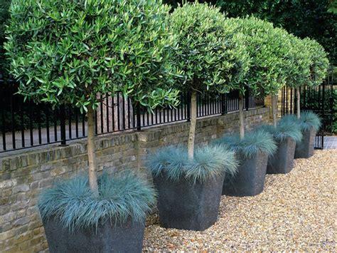 ulivi in vaso olivo olea europaea giardinaggio mobi