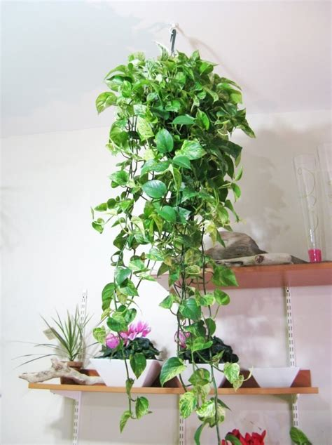 Plants For Decorating Home by Image Detail For Plants Plants Creepers Home Decorating Ideas With Plants Hanging House