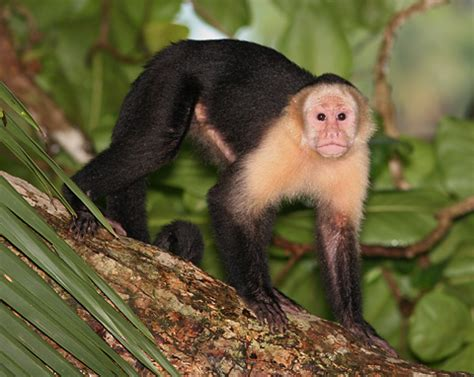 White-faced Capuchin Monkeys (Cebus capucinus) - The ...