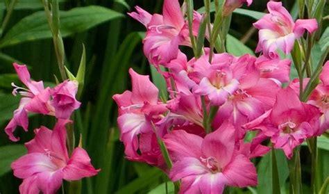 gladioli fiori bulbi fiori bulbi bulbi fioritura estiva