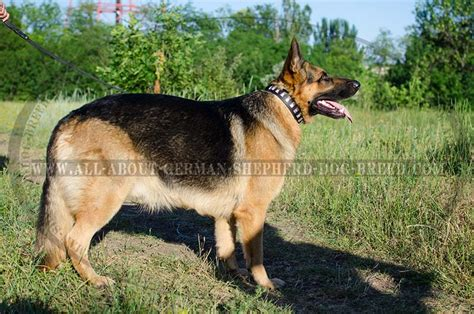 german shepherd collars 1000 images about leather german shepherd collars on