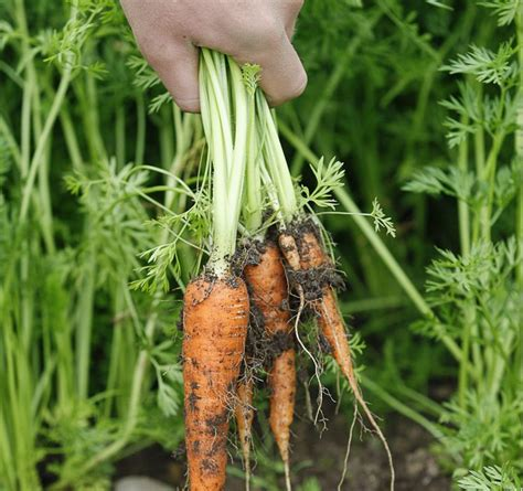 Wedding Ring In Carrot by Loses Wedding Ring Carrot Unearths It Three Years