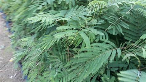 Bibit Kaliandra bibit tanaman kaliandra kabupaten barito kuala kalimantan