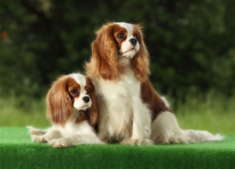 puppy breed small breeds 101dogbreeds