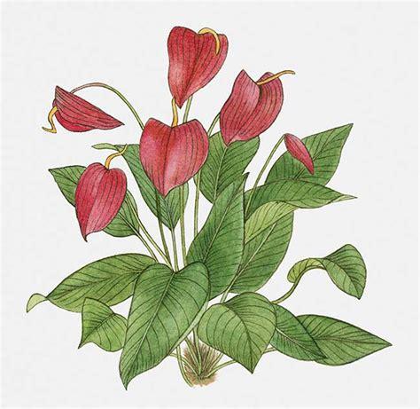 C Nel Flower Flat anthurium coltivazione potatura e riproduzione fai da