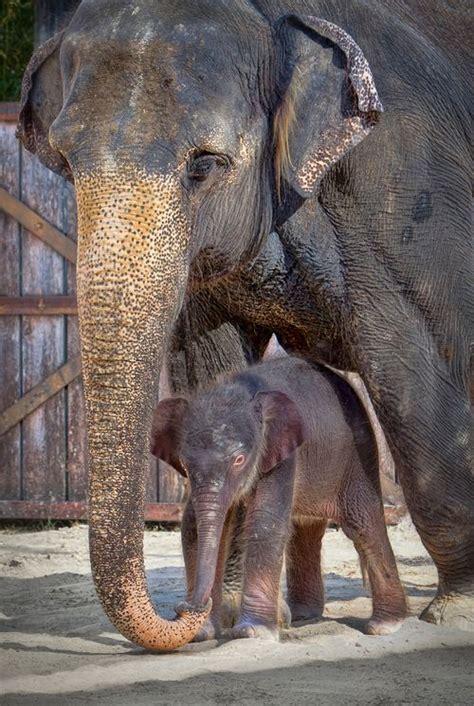 fort worth zoo celebrates asian elephant birth zooborns