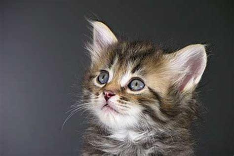Cat Decor For The Home by Koty Rasowe Tajskie Syberyjskie Afrodyty
