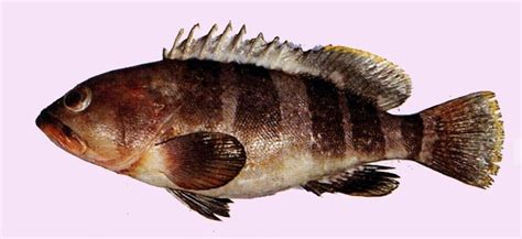 Universal Seafood 1kg live gaint grouper products taiwan live gaint grouper supplier