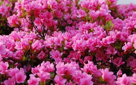 azalea da giardino azalea pianta piante da giardino pianta di azalea