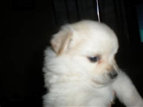 pomeranian puppies for sell pomeranian puppies in