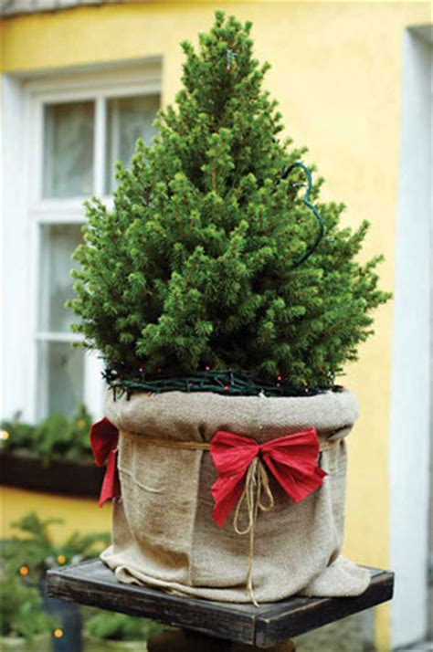 where to buy living christmas trees caring for a live tree nature and environment earth news