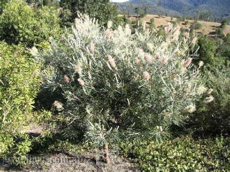 Full Sun Flowering Shrub - grevilleas com au grevillea misty pink