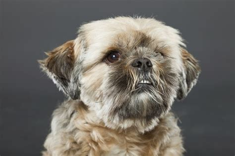 lifespan of a shih tzu poodle things you need to before getting a shih tzu poodle mix