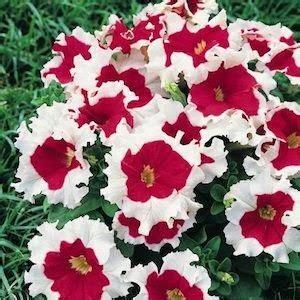 Petunia Merah koleksi tanaman hias bunga petunia dua warna