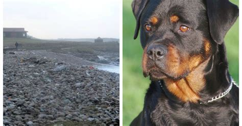largest rottweiler he s the rottweiler i seen residents urged to report sightings of