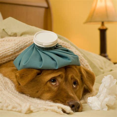 distemper symptoms in puppies distemper in dogs it s deadly but also preventable