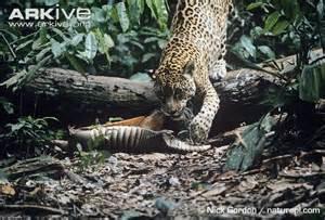 What Are Jaguars Prey Jaguar Photo Panthera Onca G16806 Arkive