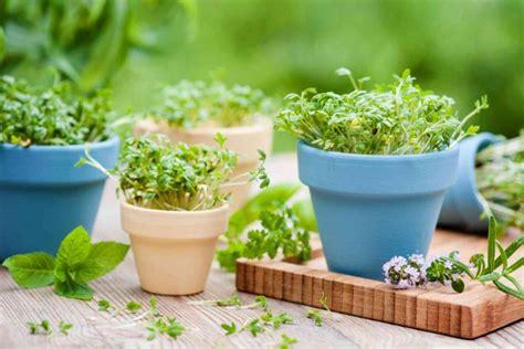 coltivare piante aromatiche in vaso come coltivare piante aromatiche in vaso donnad