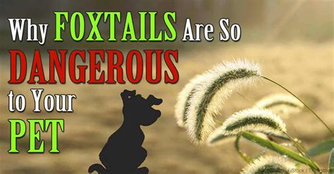 foxtails and dogs why foxtails are so dangerous to pets